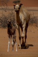 Camel Mama and Baby